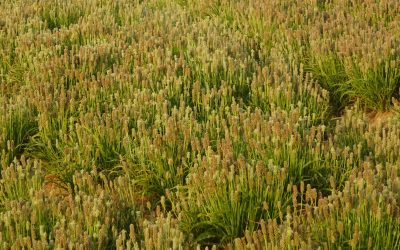 What Are the Health Benefits of Psyllium?